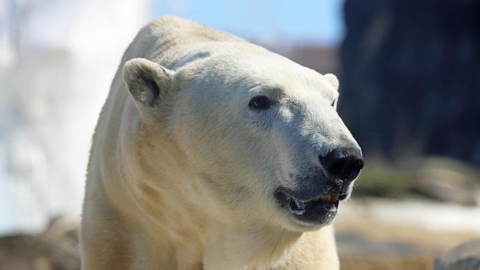 Für Eisbär Kap gab es in den vergangenen Wochen zusätzliches Training. Nun hat er Stereotype, die er nach Nikas Tod im Winter zeigte, wieder abgelegt.
