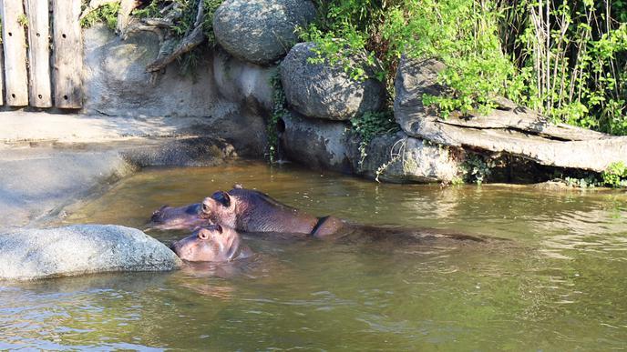 Premiere: Das kleine Flusspferd Halloween durfte nun erstmals nach draußen.