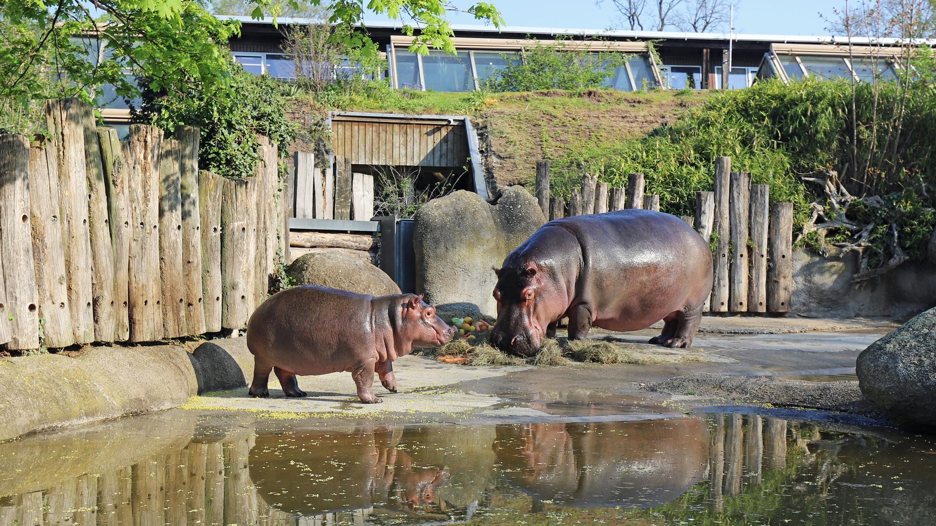 Publikumsliebling, den viele Zoofans vermissen: Zum kleinen Hippo Halloween gibt es jede Menge Anfragen an den Karlsruher Zoo.