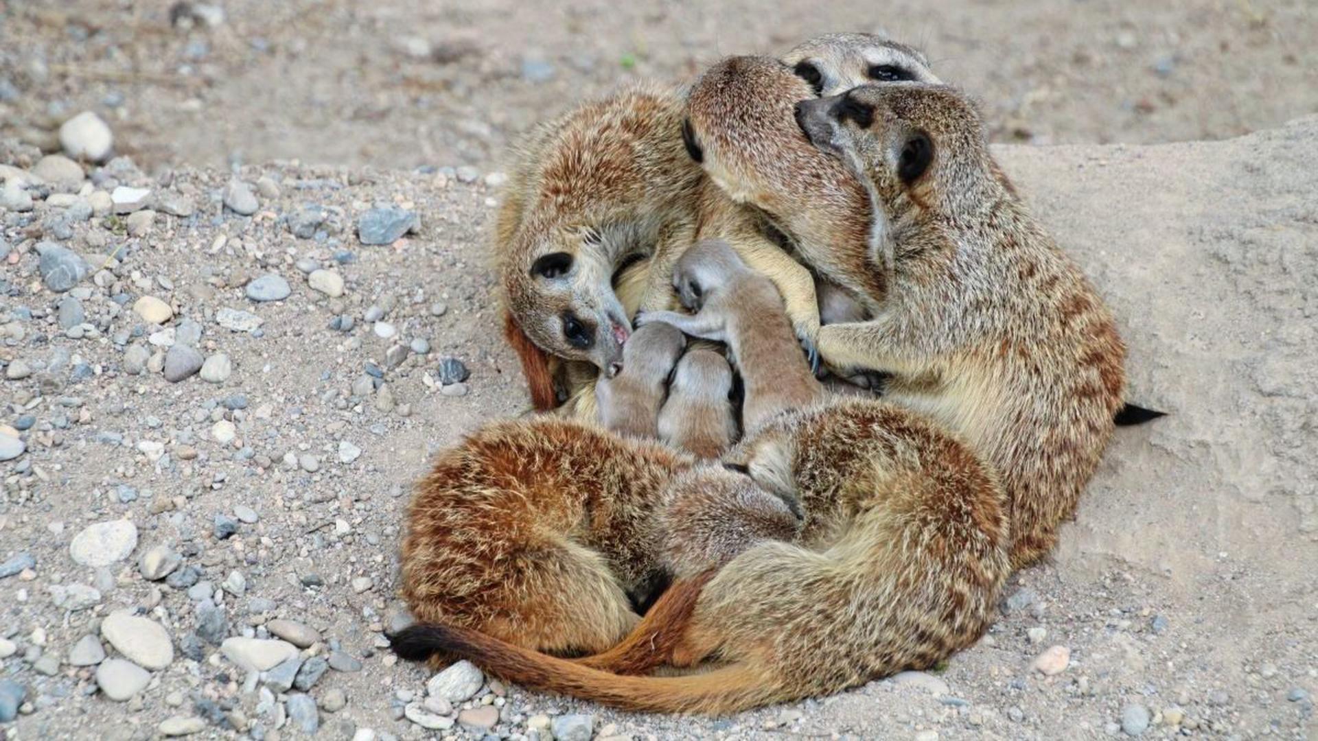 Im Karlsruher Zoo können Besucher ab sofort sechs Erdmännchen-Jungtiere erleben, die sich am Dienstag zum ersten Mal zeigten.