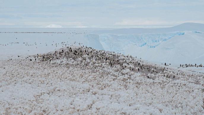 Niedliche Nachbarn: Rund acht Kilometer von der Station entfernt lebt in der Atka-Bucht eine Kaiserpinguinkolonie ...
