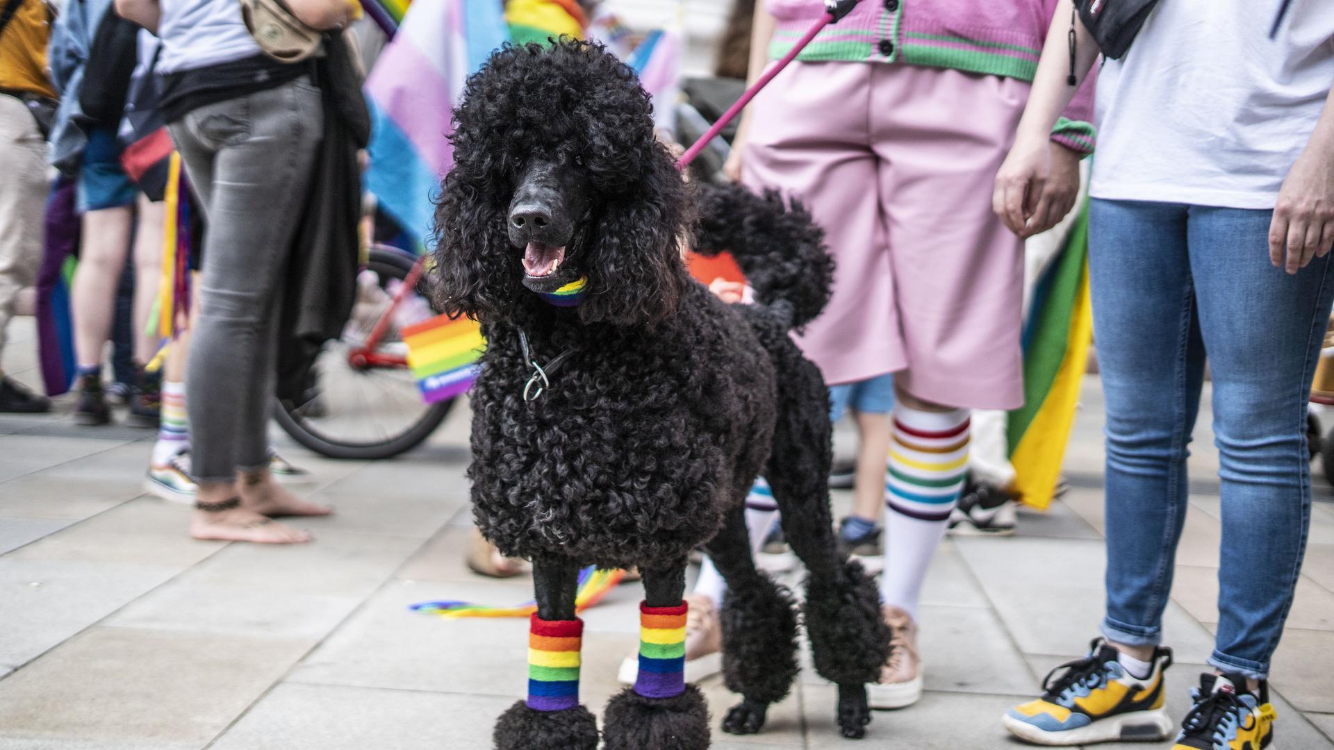 Ein Pudel trägt Regenbogen-Stulpen