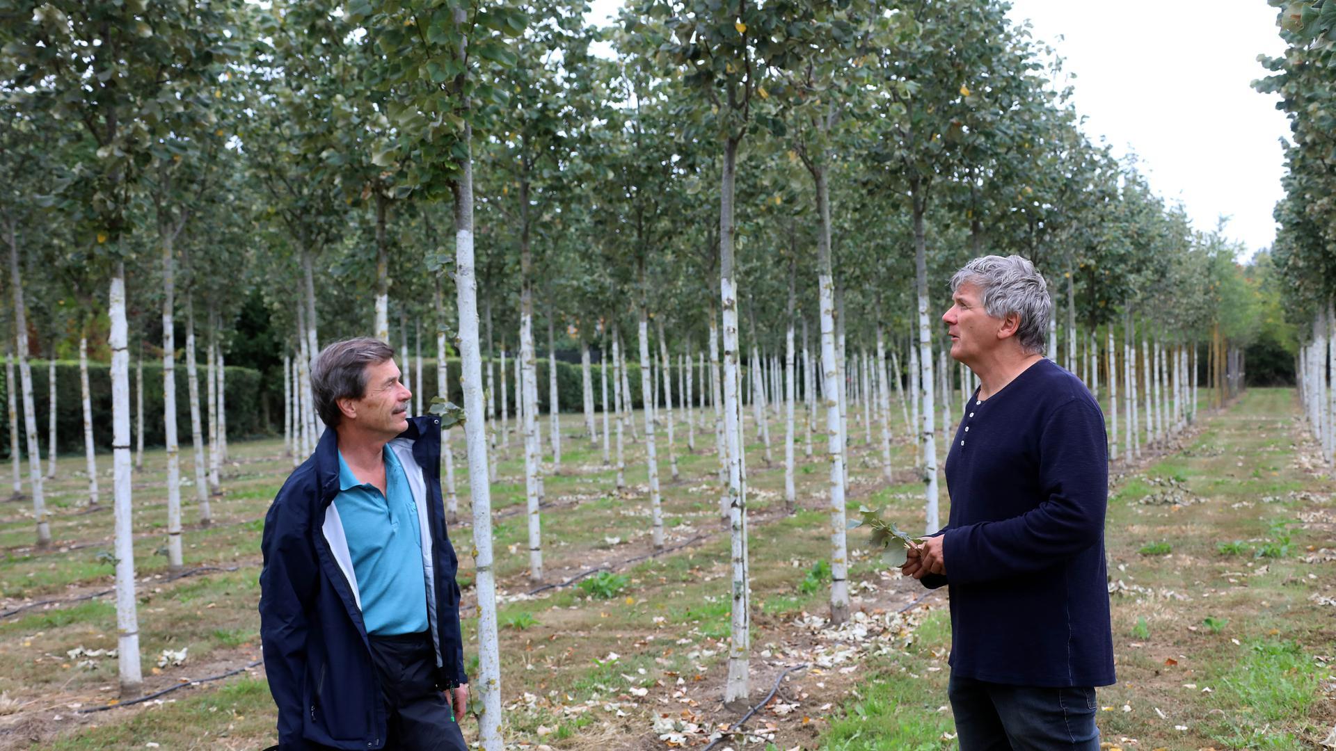 In der Baumschule: Die jungen Silberlinden stehen für das Verpflanzen von der Stadtgärtnerei an die Kriegsstraße bereit. Gärtnermeister Andres Ehmer (rechts)  hat sie erzogen, Walter Burg leitet die Grünplanung für den Stadtboulevard.