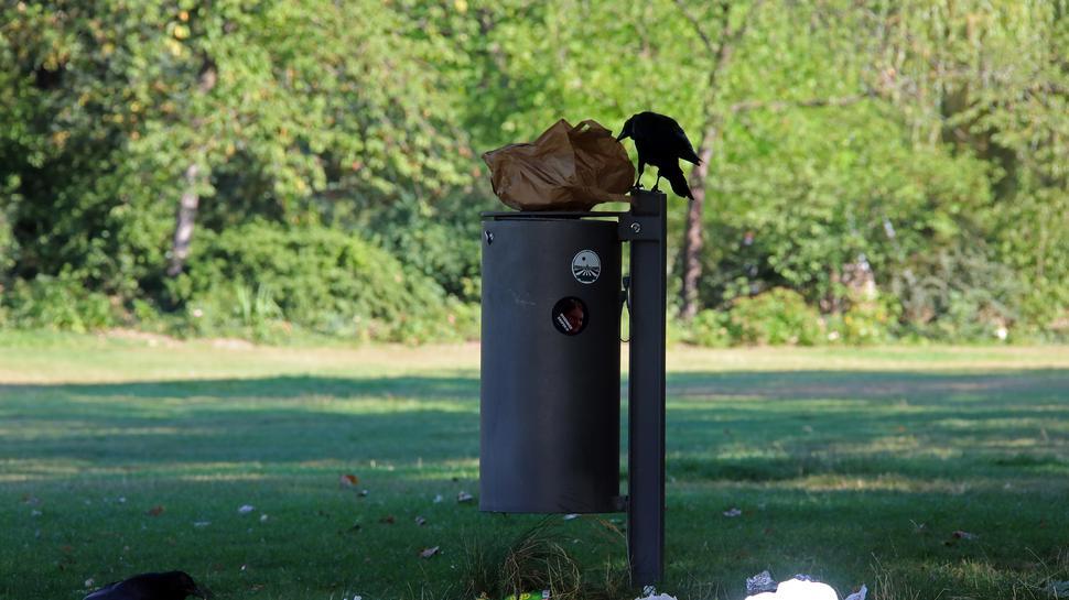 Gibt's da noch was zu holen? Der Inhalt der Mülleimer im Schlossgarten ist für Krähen ein gefundenes Fressen.