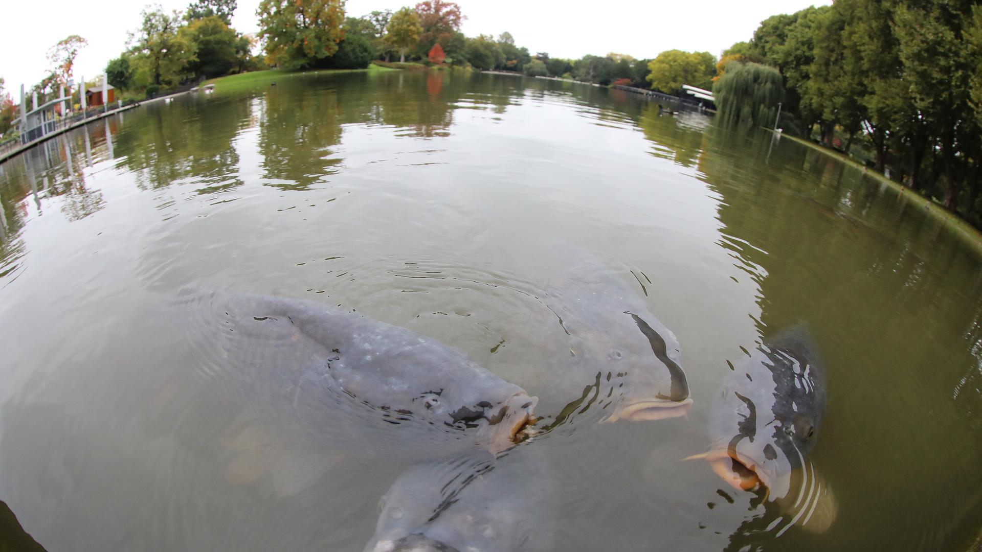 Attraktion: Die Karpfen im Stadtgartensee sind zutraulich und von beeindruckendem Format. Auch im Winter bleiben sie im See.