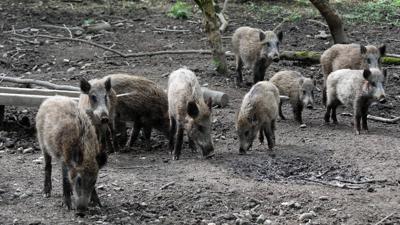 Mehrere Wildschweine stehen im Hardtwald in Karlsruhe.