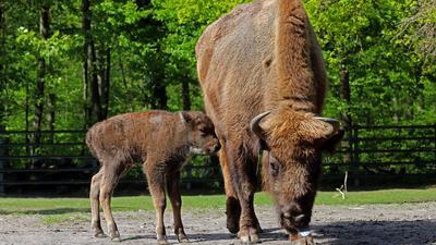 © Jodo-Foto /  Joerg  Donecker//  5.05.2021 Nachwuchs bei den Wisente im Oberwald,  Foto: Mutter Pfennig mit Nachwuchs Xasper,               -Copyright - Jodo-Foto /  Joerg  Donecker Sonnenbergstr.4  D-76228 KARLSRUHE TEL:  0049 (0) 721-9473285 FAX:  0049 (0) 721 4903368  Mobil: 0049 (0) 172 7238737 E-Mail:  joerg.donecker@t-online.de Sparkasse Karlsruhe  IBAN: DE12 6605 0101 0010 0395 50, BIC: KARSDE66XX Steuernummer 34140/28360 Veroeffentlichung nur gegen Honorar nach MFM zzgl. ges. Mwst.  , Belegexemplar und Namensnennung. Es gelten meine AGB.