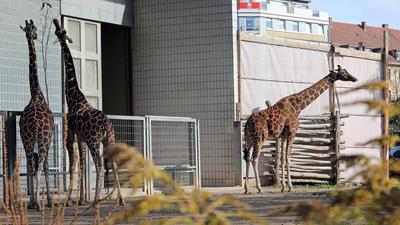 Drei Giraffen fressen gemeinsam im Zoo Karlsruhe.