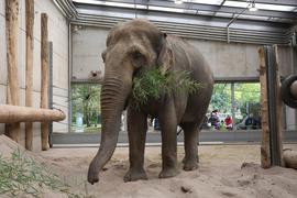 Elefantendame Saida akklimatisiert sich im Karlsruher Zoo.