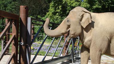 Blick zur Nachbarin Nanda: Elefantenkuh Jenny im Zoo Karlsruhe an der neuen Absperrung auf der Außenanlage
