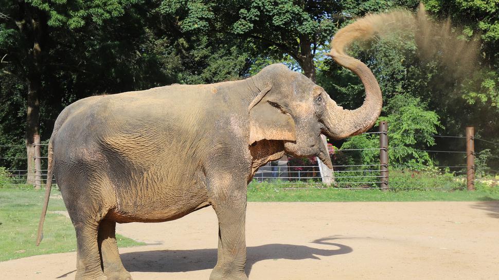 Zoo Karlsruhe: Die Elefantenkuh Nanda beim Sandbaden