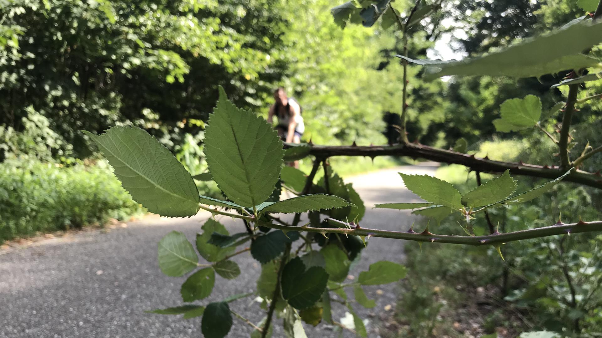 Ein Dornenbusch steht direkt am Wegrand der Grabener Allee im Hardtwald.
