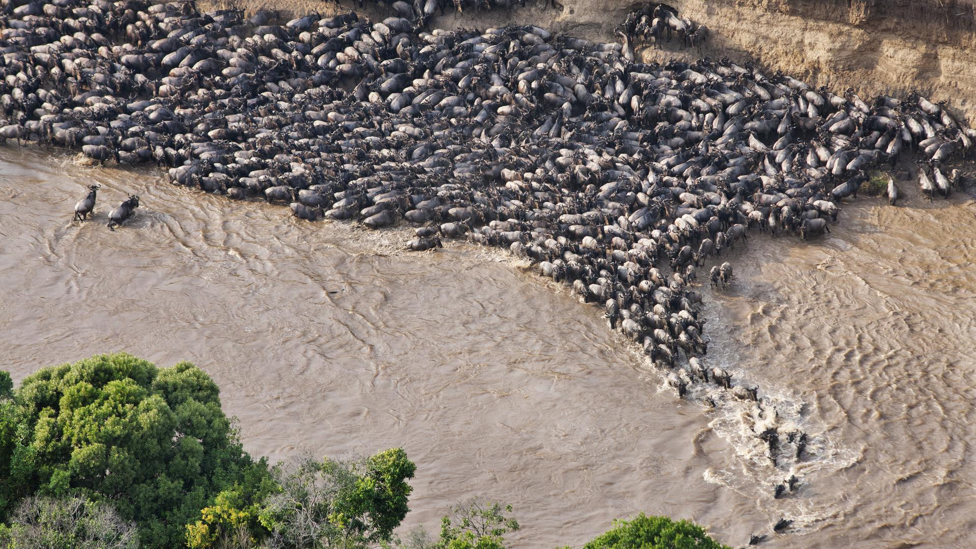Aerial view of wildebeest trapped by high cliffs while crossing the Mara River. Every year thousands of wildebeest die while crossing the river due to strong currents or crossing at unfavourable crossing sights. Masai Mara National Reserve. Kenya.