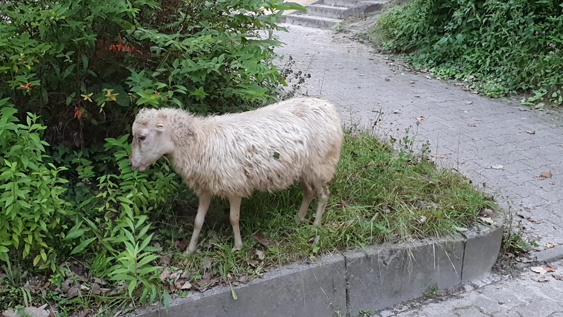 Ausgebüxt: Ein Schaf ist in Durlach auf Abwege geraten. Die Polizei ermittelte den Besitzer und bewachte das Tier.