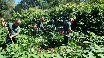Mitarbeiter der worKA beim Abmähen des Staudenknöterich