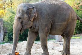 """Elefantenkuh """"Saida"""" spielt mit einem Halloween-Kürbis"""