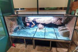 Oliver Knott, aus Knielingen stammender Spezialist für Aquarienbau, richtet im Sommer 2020 das neue Becken für den Riesenmolch im Staatlichen Naturkundemuseum Karlsruhe (SMNK) ein.
