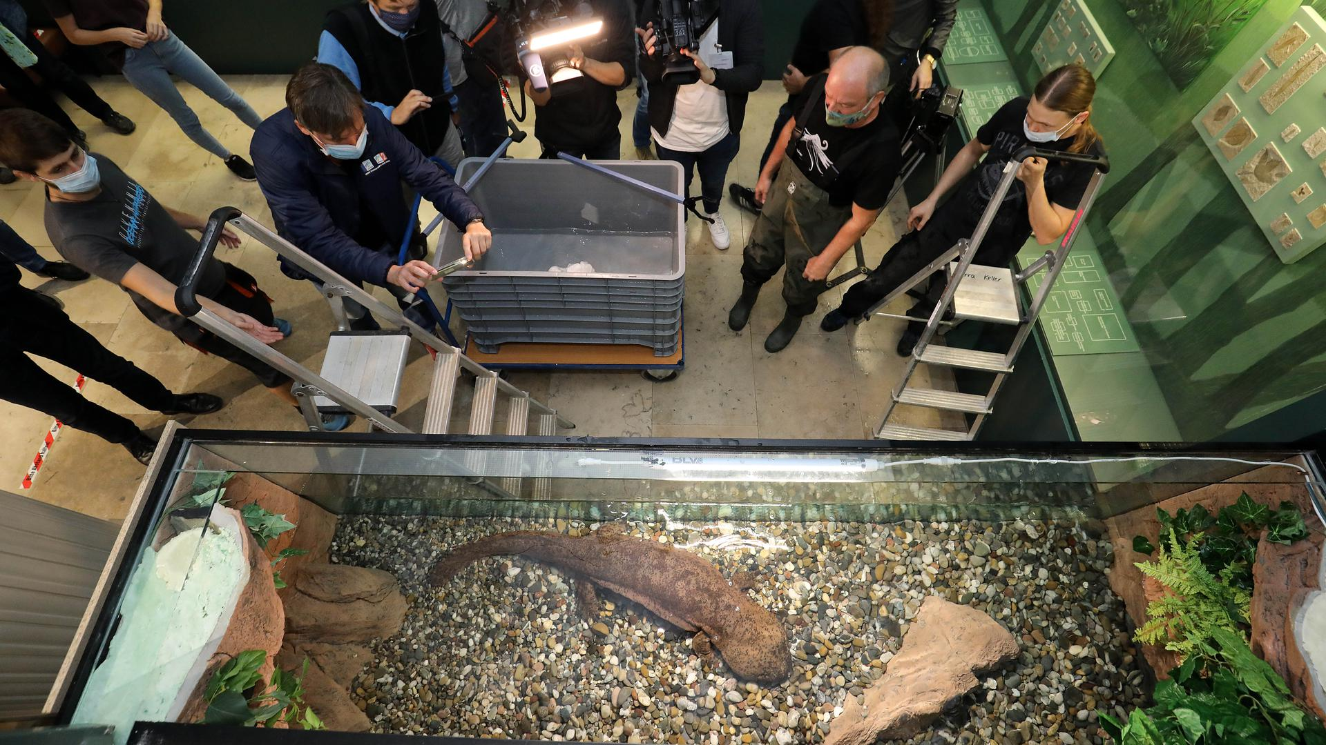 13.10.2020 Umzug Riesensalamander im Naturkundemuseum Karlsruhe