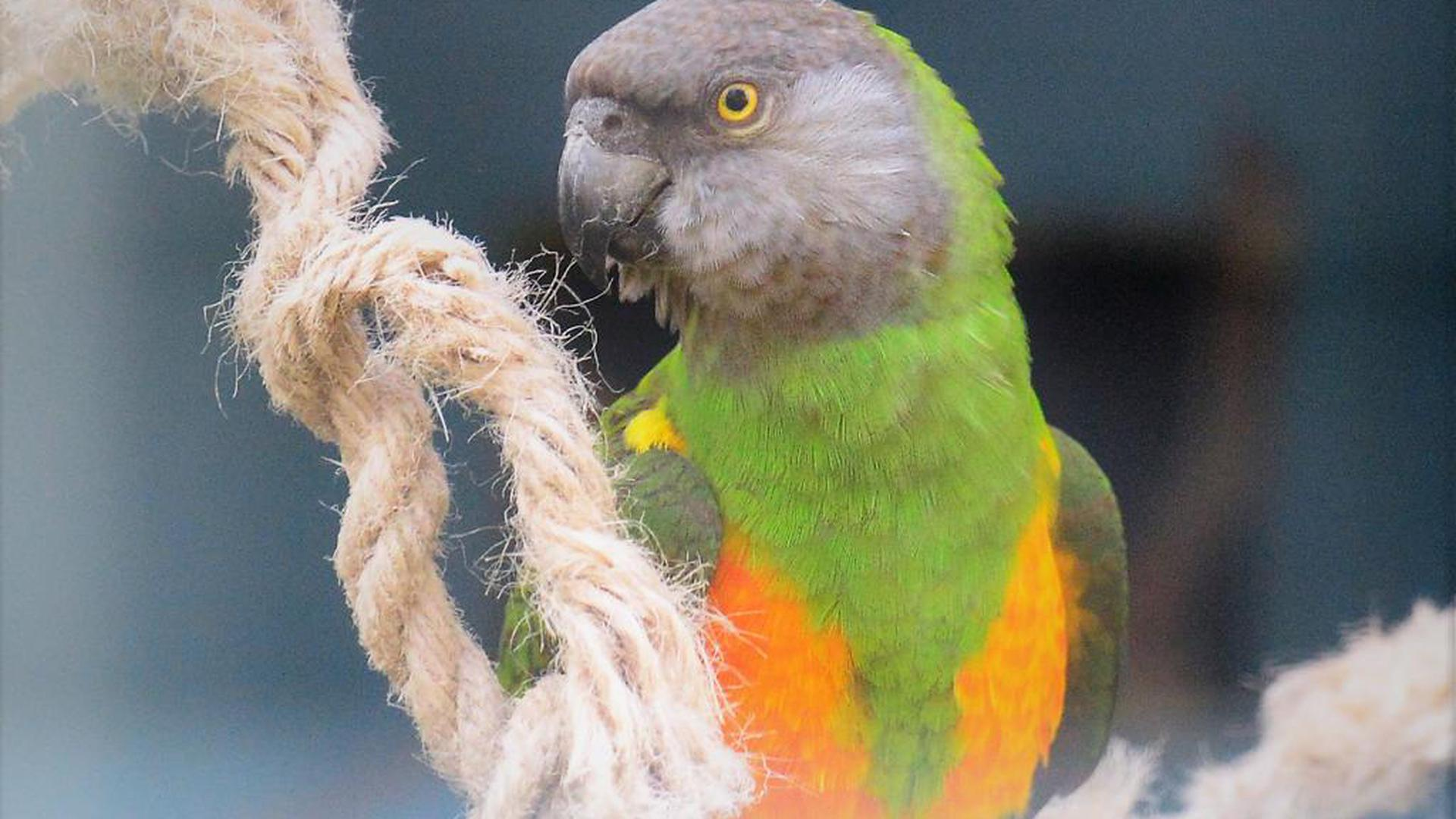 Unbekannte haben mehrere Vögel im Neureuter Vogelpark gestohlen., unter anderem diesen Mohrenkopfpapagei.