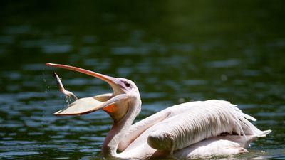 Pelikan spielt mit Fisch