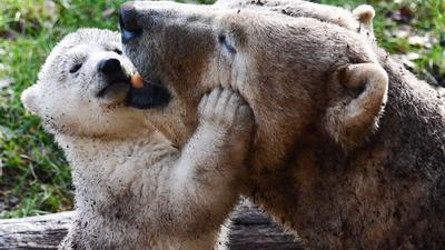 Die Eisbärin namens Sessi und ihr Junges Kara spielen in ihrem Gehege im zoologischen und botanischen Park der Stadt. Das Eisbärenbaby, das seine ersten Schritte im Freien gemacht hat, wurde im November 2020 geboren.