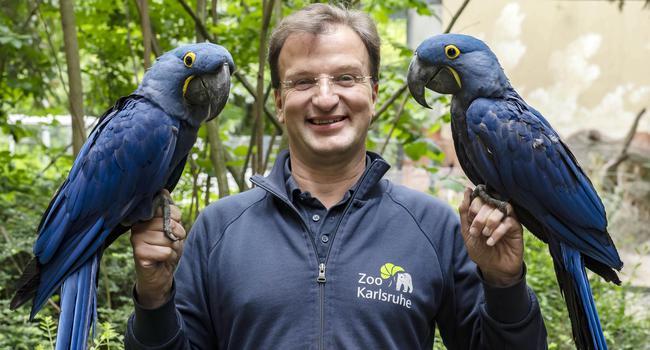 Matthias Reinschmidt, Direktor des Karlsruher Zoo, mit zwei Hyazinth-Aras