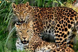China-Leoparden Zoo Karlsruhe