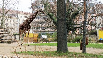 Giraffe, Baustelle