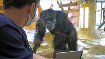 Schimpanse Benny, Revierleiter Michael Heneka mit Tablet