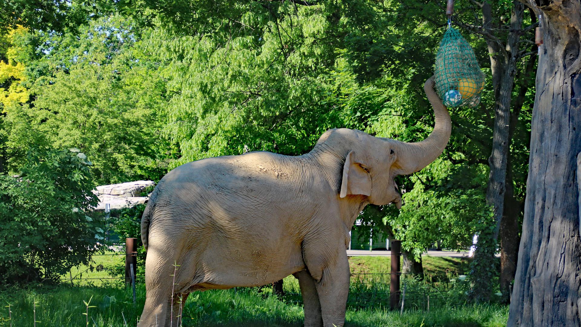 Elefantenkuh Jenny