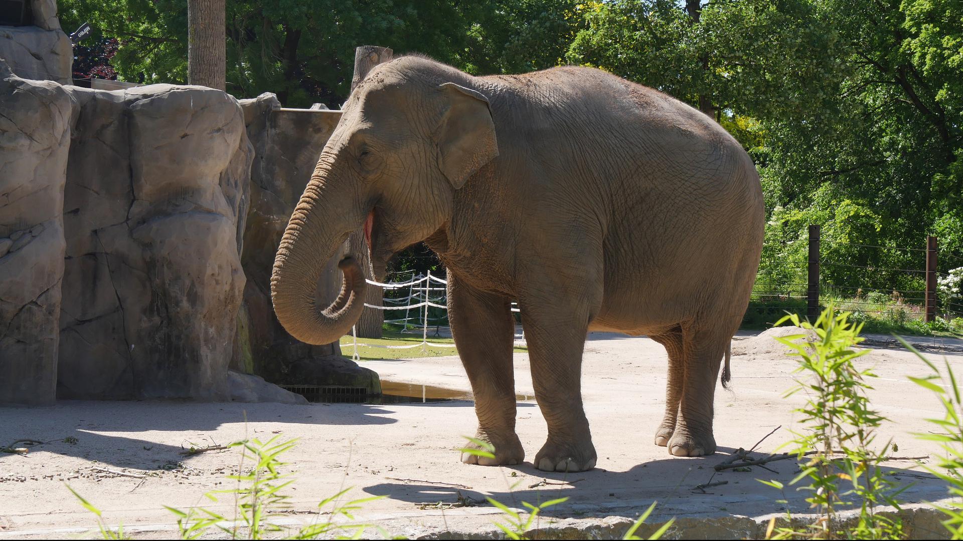 Eine Elefantenkuh im Zoo Karlsruhe