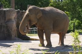 Eine Elefantenkuh im Karlsruher Zoo.