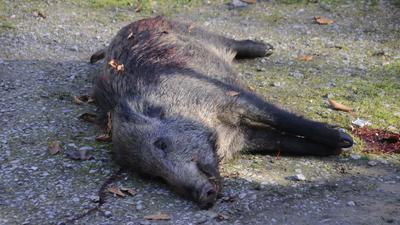 erlegtes Wildschwein