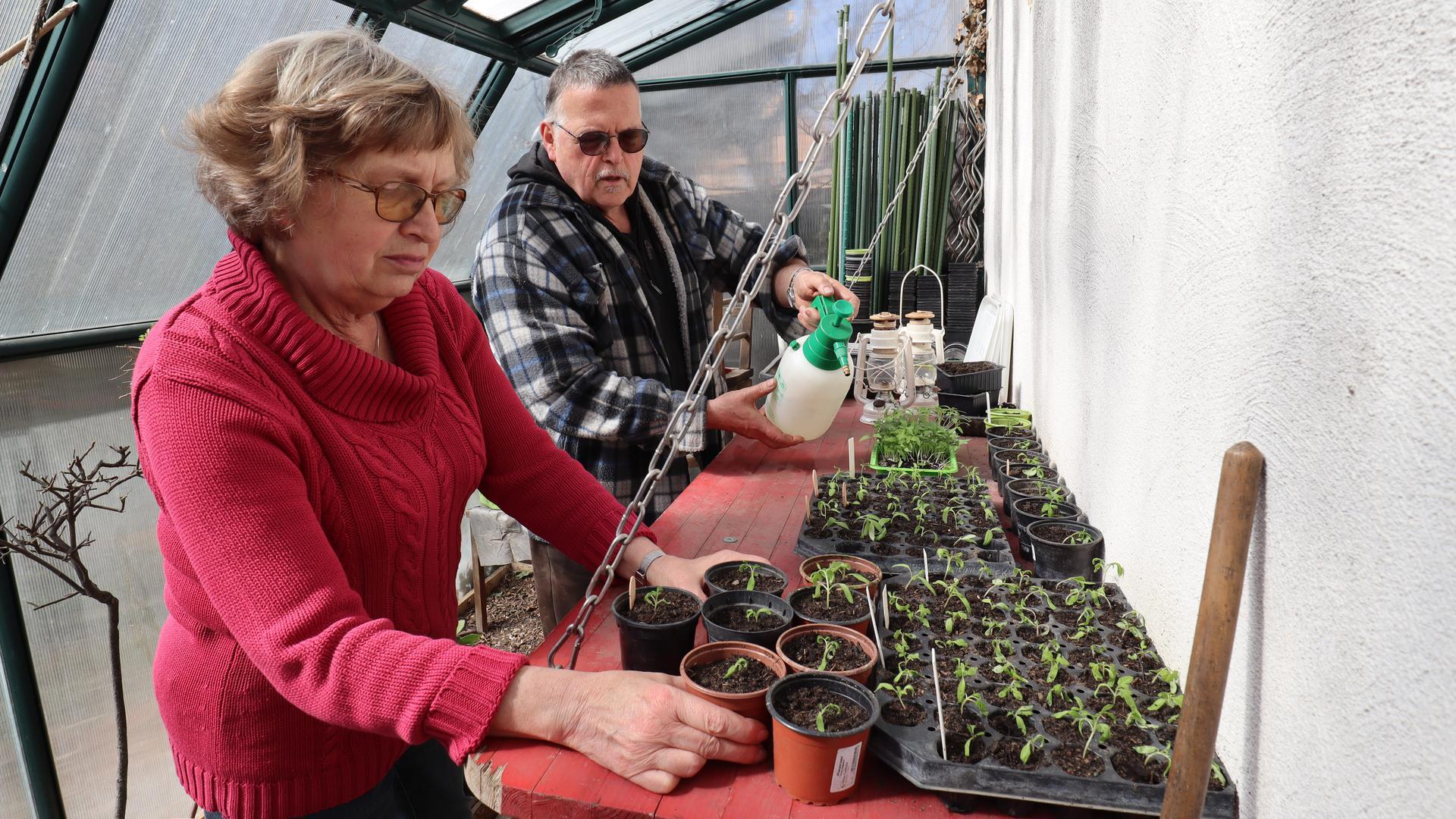 Renate und Reiner Dick im Gewächshaus mit pikierten Tomaten und Paprikas.
