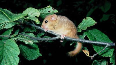Bedroht: Die Haselmaus ist wie andere Säugetiere, beispielsweise Wasserspitzmaus, Gartenschläfer und verschiedene Fledermausarten, gefährdet