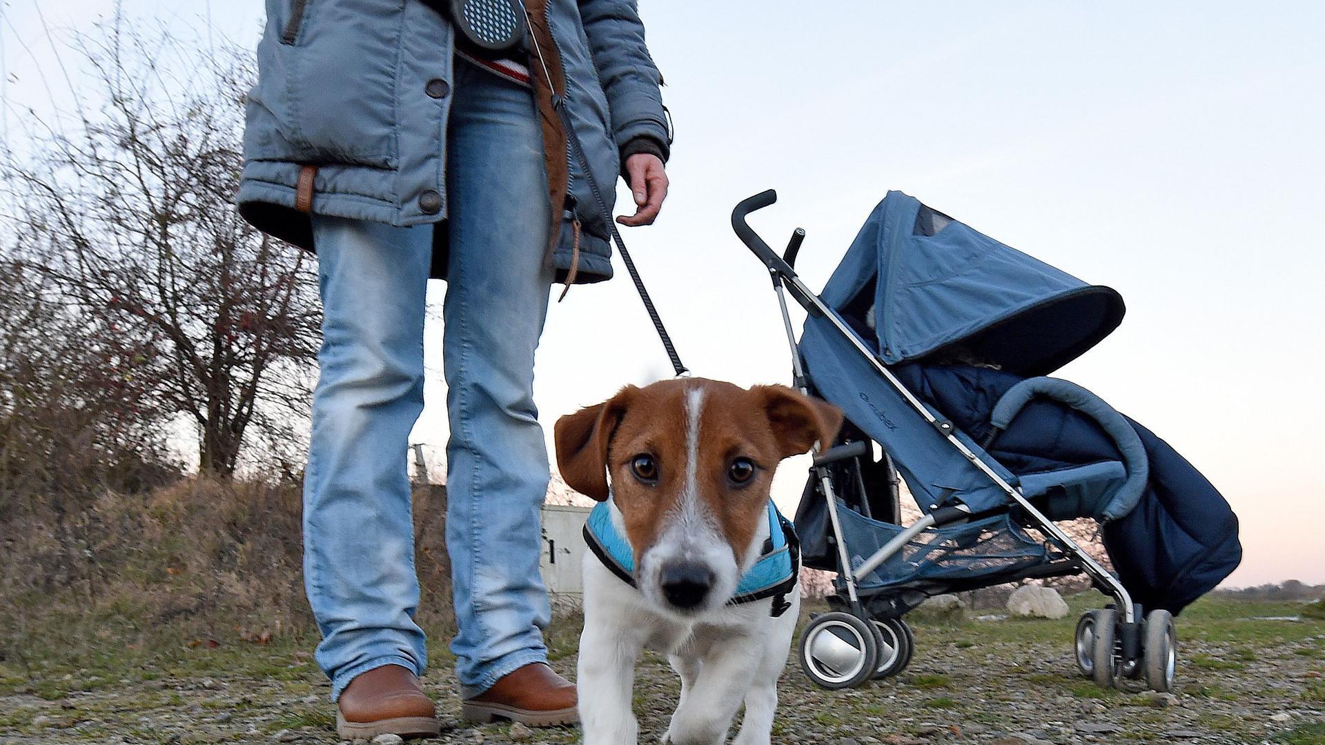 ARCHIV- An der Leine wird Jack Russell Nills von Silja Gräf am 29.11.2016 in Isernhagen in der Region von Hannover (Niedersachsen) ausgeführt. Die Ankündigung der Stadt Osterode, zahlungsunwillige Hundebesitzer im Frühjahr durch Hausbesuche aufzuspüren, hat schon jetzt Erfolge gebracht. (zu dpa «Halter melden Hunde aus Angst vor Kontrolleuren an» vom 20.03.2017) Foto: Holger Hollemann/dpa +++ dpa-Bildfunk +++