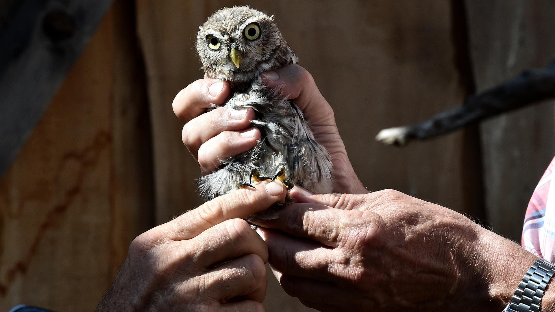 Klein und mit kräftigen Krallen ausgestattet ist der Steinkauz: Die Eule trägt am Fuß einen Ring, der funktioniert wie ein Personalausweis. So können Naturschützer das Tier in freier Natur wiedererkennen.