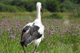 Storch auf Blumenwiese