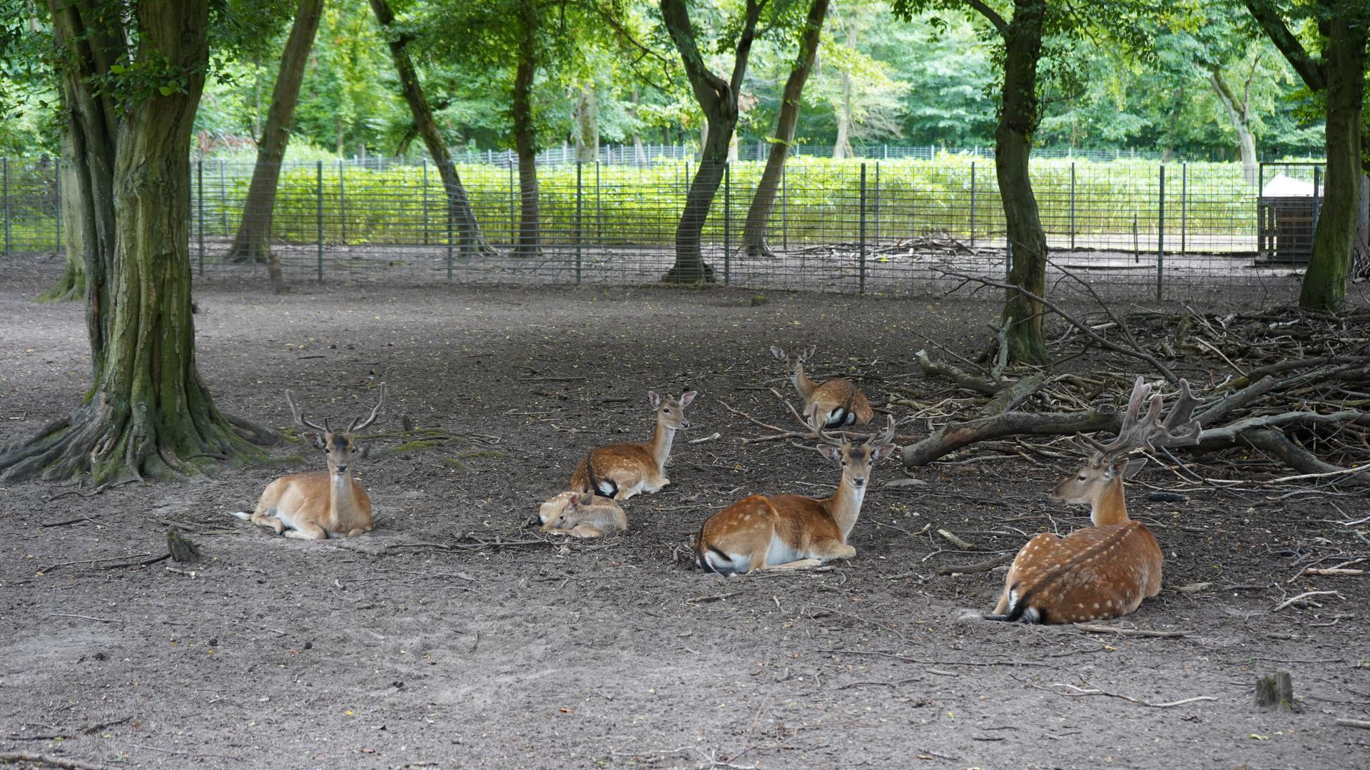 Noch im Park: Der Tierbestand musste aufgelöst werden. Für das Damwild hat das Veterinäramt jedoch einen Aufschub gewährt. Im Park sollen Hirsche unter anderem mit Vanille-Berlinern und Schoko-Croissants gefüttert worden sein.