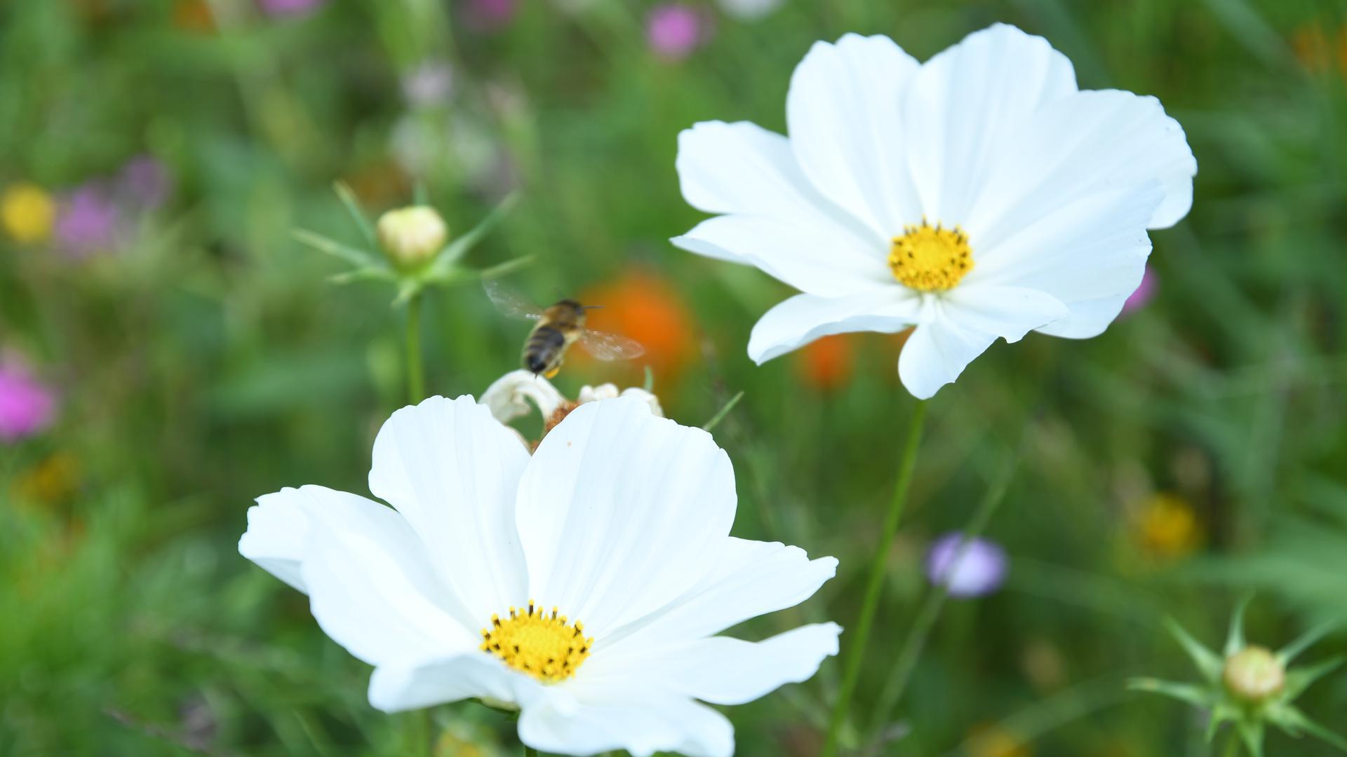 Eine Biene fliegt von einer Blüte zur nächsten.