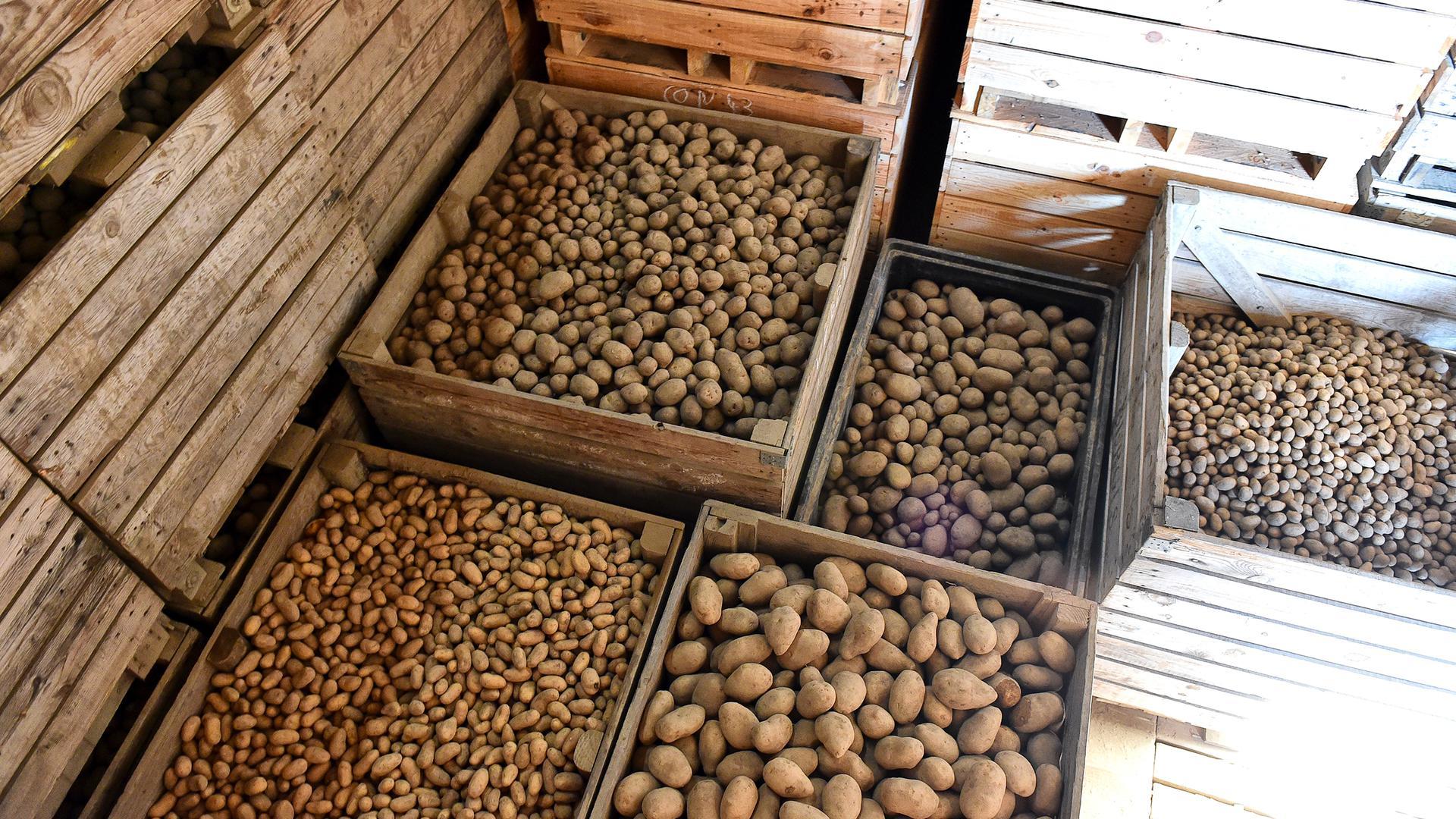 Kartoffeln lagern in Kisten.