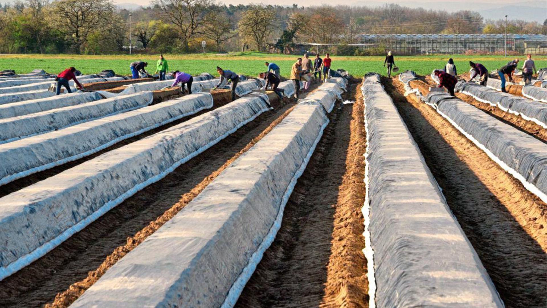 Reihenweise Arbeit: Ohne Helfer aus Osteuropa wäre die Ernte auf den Feldern nicht zu stemmen. Allerdings stellen sich in Sachen Hygieneregeln und Infektionsschutz viele Fragen.