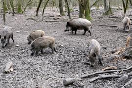 Wildschweine im Gehege in Rappenwörth