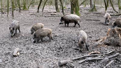 Der Nachwuchs ist schon beinahe so groß wie die Eltern: In diesem Jahr hatten Wildschweine Gelegenheit, ihre Population zu vergrößern. Das Wetter und Corona halfen dabei.