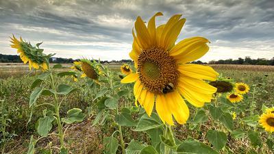 Feld bei Weingarten mit Sonnenblumen, die noch gut aussehen, im Hintergrund ein Maisfeld mit braunen Stauden.
