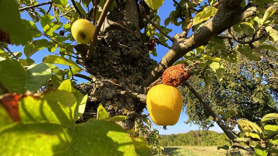 An einem Obstbaum zwischen Weingarten und Walzbachtal hängen ein schrumpeliger gelber Apfel und ein verdorrter rot-brauner Apfelrest.