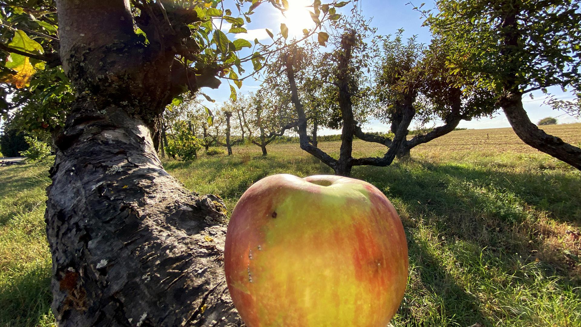 Ein Apfel liegt auf einem Ast in einem Obstgarten zwischen Weingarten und Walzbachtal