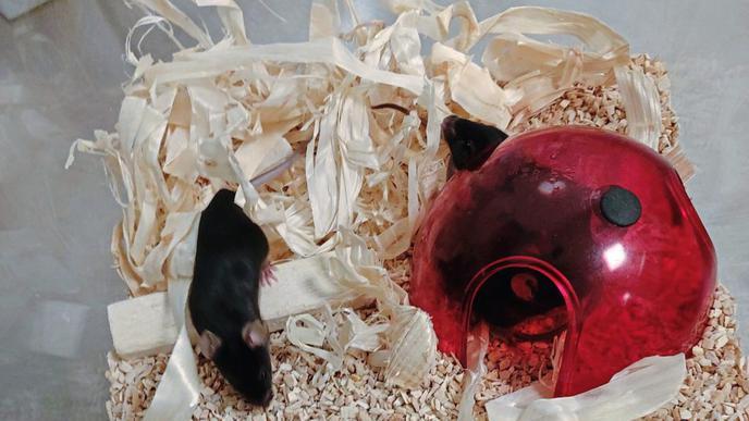 Diese Mäuse werden am Max-Rubner-Institut (MRI) gehalten. Zum Ende der Versuchsreihe werden sie getötet und ihre Organe untersucht.