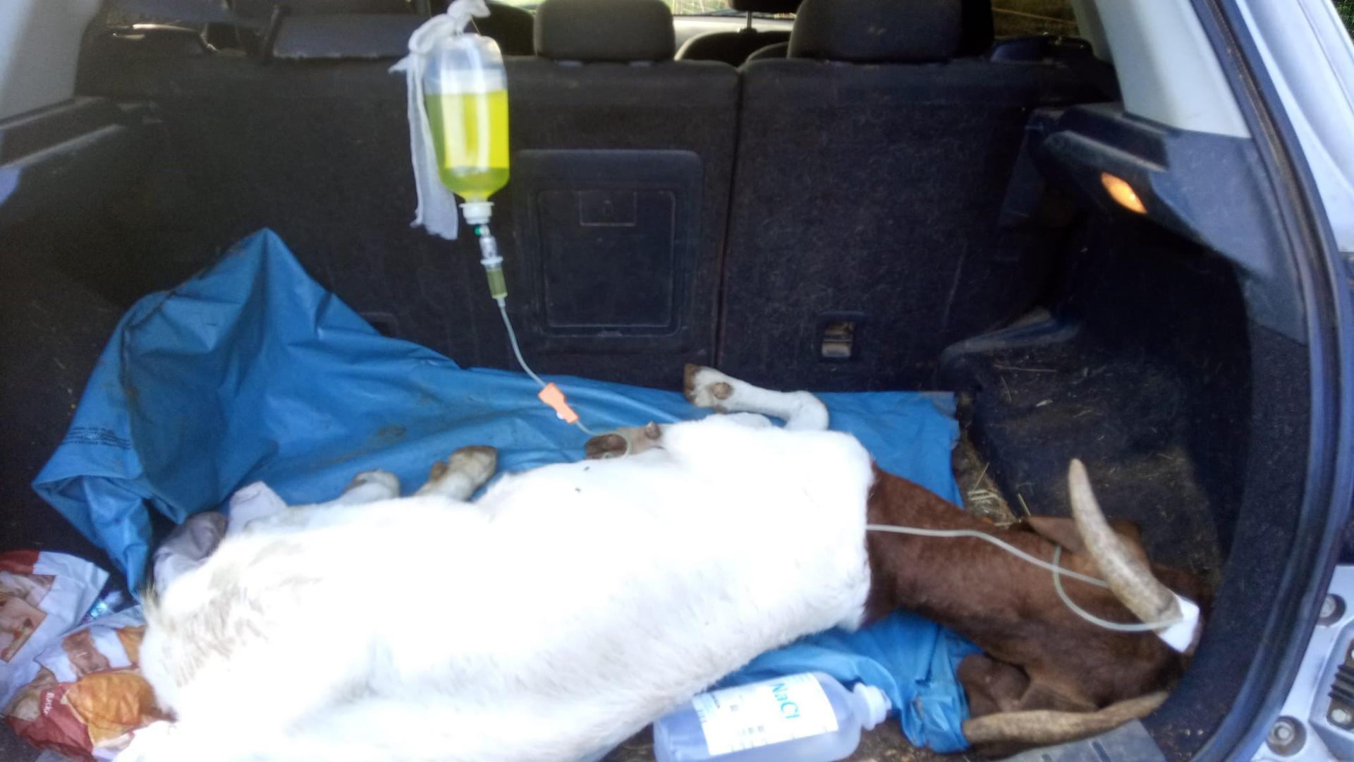 Ziege Gerda wurde am vergangenen Wochenende vom Tierarzt begutachtet, nachdem auch sie mutmaßlich etwas Falsches von Passanten gefüttert bekommen hat.