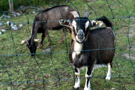 25.08.2021 Viehhalter aus Pfinztal/Wöschbach beklagen illegale Fütterung. Mehrere Tiere sind an Vergiftungen gestorben, darunter fast 20 Ziegenbabys. Wir erklären, warum es so gefährlich ist, Tiere wild zu füttern und welche Strafen darauf stehen. Frau Manuela Lingenfelser und Ehemann Dirk Lingenfelser